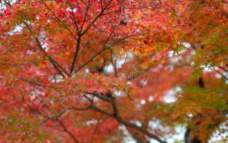 Japanse esdoornbladeren die rood tijdens de herfstseizoen worden stock foto's