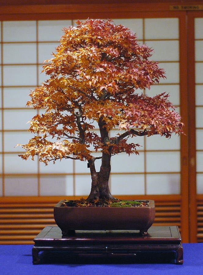 Japanse esdoornbonsai stock afbeelding