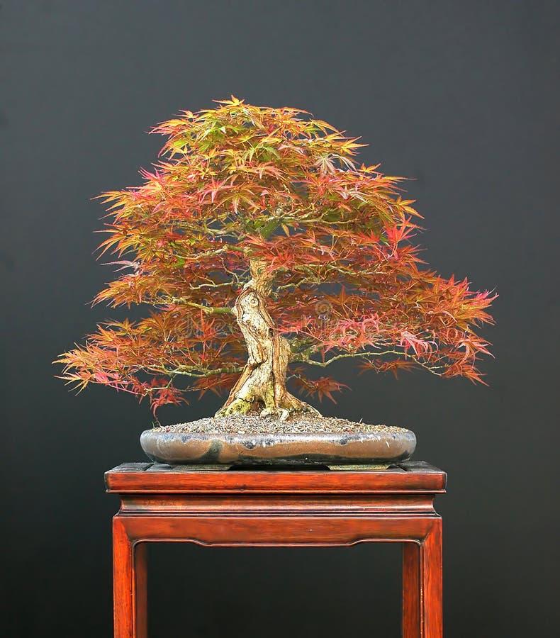 Japanse esdoornbonsai royalty-vrije stock afbeelding