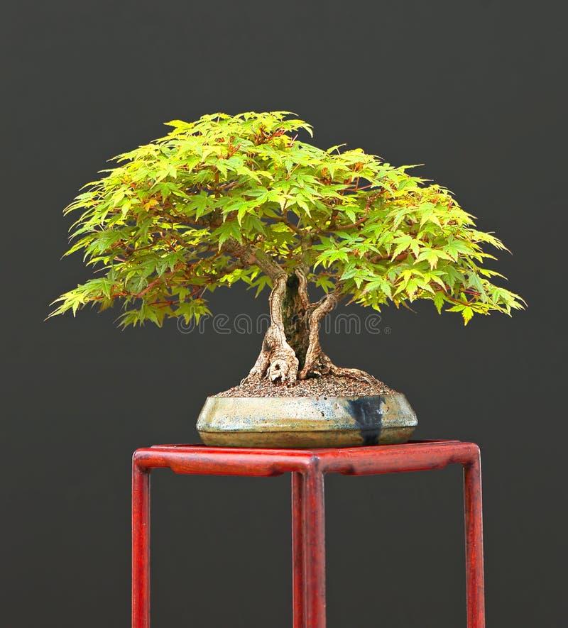 Japanse esdoornbonsai royalty-vrije stock foto