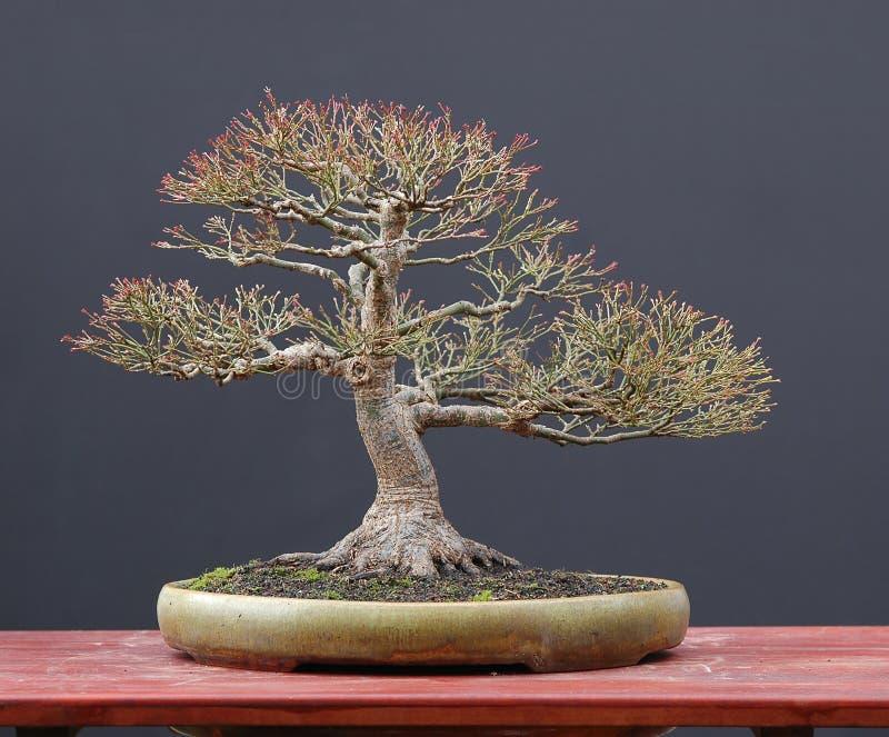 Japanse esdoornbonsai in de winter royalty-vrije stock afbeeldingen
