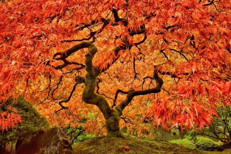 Japanse Esdoornboom in de Herfst met levendige kleuren stock afbeelding