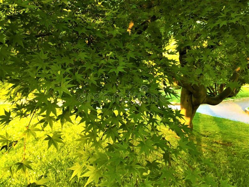 Japanse esdoornboom, licht, schaduwen en sterrenbladeren royalty-vrije stock afbeeldingen