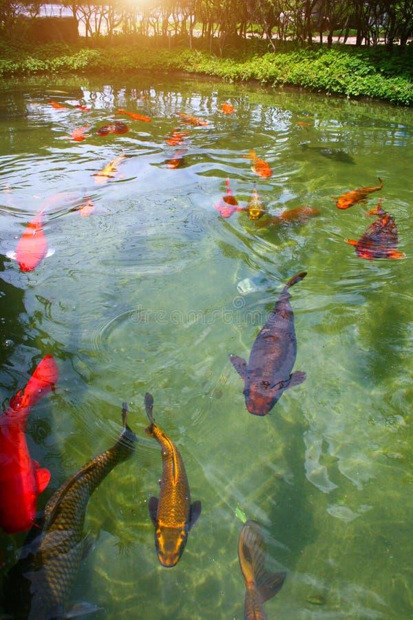 Japanse geschakeerde karpers die in tuinvijver zwemmen royalty-vrije stock foto's