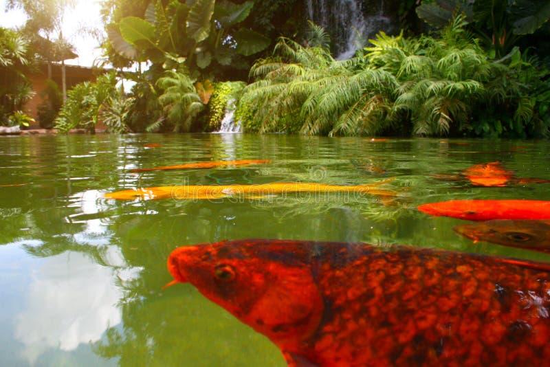 Japanse geschakeerde karpers die in tuinvijver zwemmen royalty-vrije stock fotografie