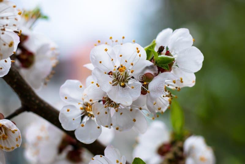 Japanse kaart met witte bloemen van kersenboom op groene achtergrond voor decoratieontwerp De achtergrond van de de lentebloesem  royalty-vrije stock afbeelding