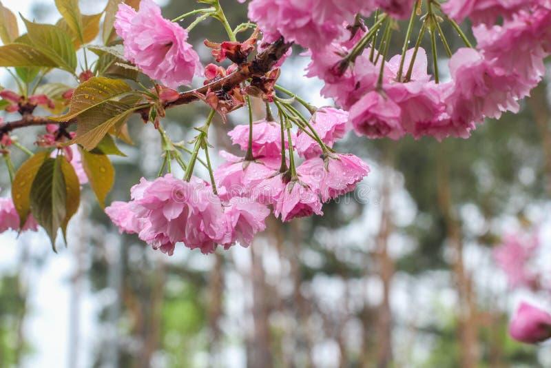 Japanse kers, sakura, het takje van de bloesembloem op aardachtergrond De mooie gevoelige lente en tederheidsconcept stock afbeelding