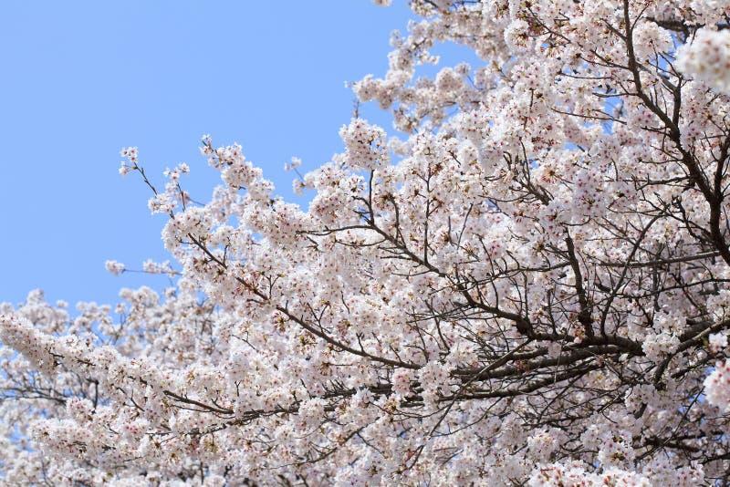 Japanse kersen (sakura) bloesem stock foto's