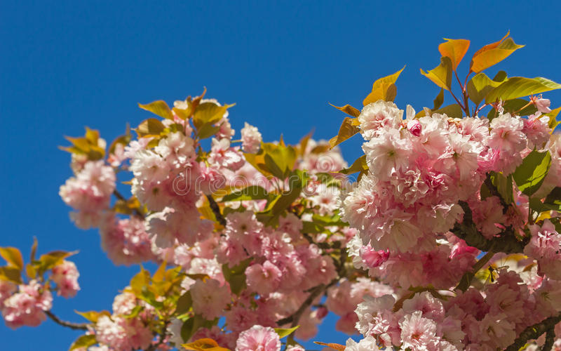 Japanse kersenbloesem stock afbeelding