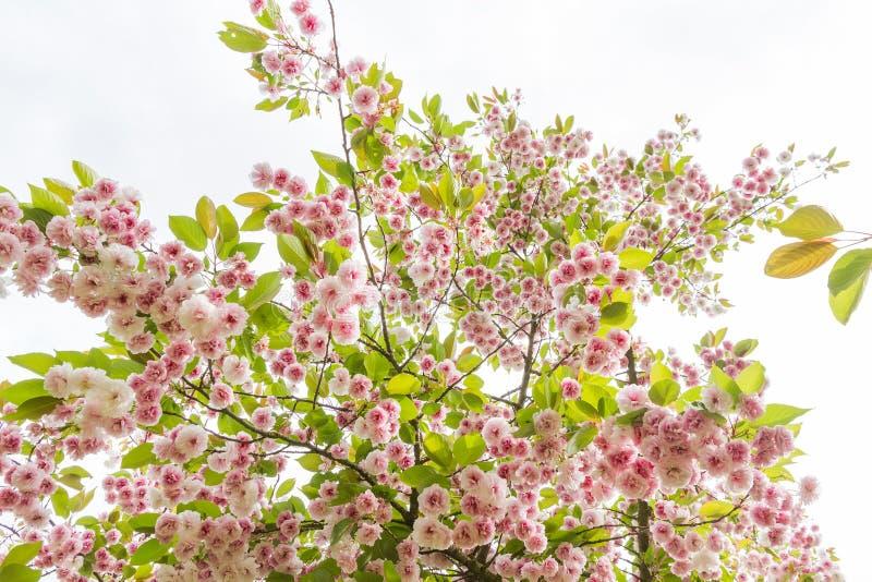 Japanse kersenbloesem royalty-vrije stock fotografie