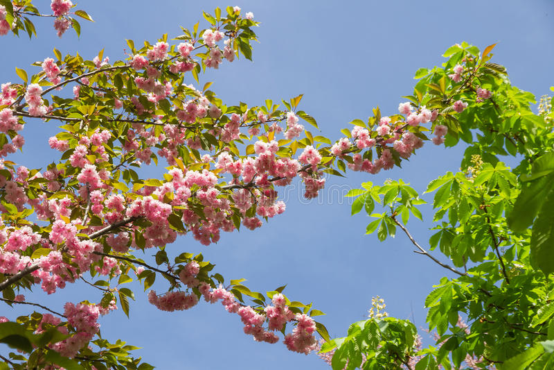 Japanse kersenbloesem royalty-vrije stock afbeeldingen