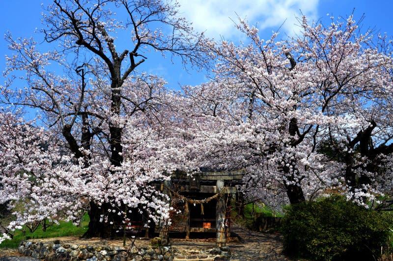 Japanse kersenbloesems in volledige bloei royalty-vrije stock foto