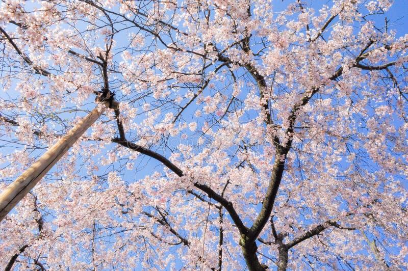 Japanse kersenbloesems in volledige bloei royalty-vrije stock afbeeldingen