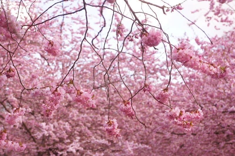 Japanse kersenboom in bloesem roze bloemen royalty-vrije stock afbeelding