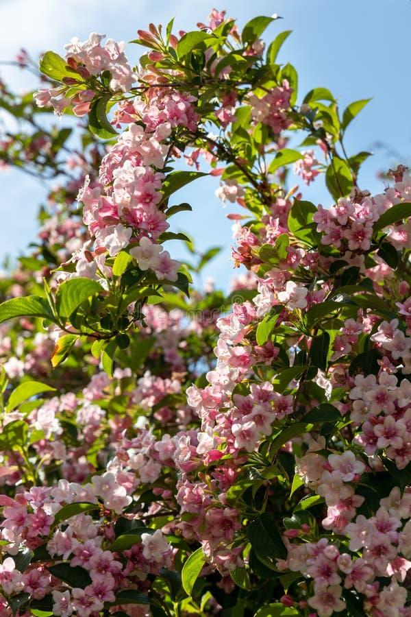 Japanse Kersenboom die overvloedig bloeien royalty-vrije stock afbeeldingen