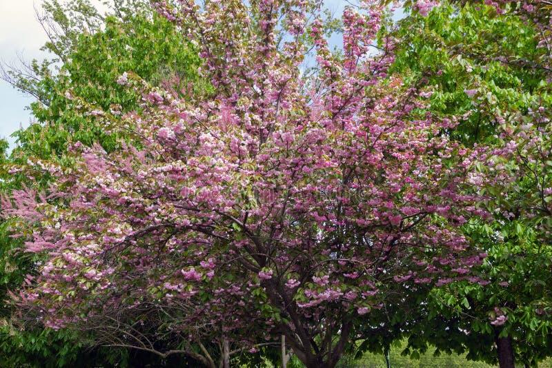 Japanse Kersenboom met Bloemen royalty-vrije stock fotografie