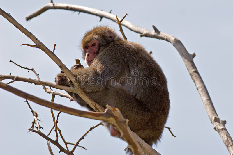Japanse macaque stock fotografie