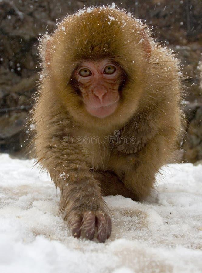 Japanse Macaque, Japanse makaak, Macaca-fuscata stock afbeelding