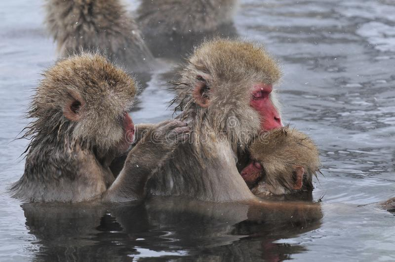 Japanse Makaak, Japanese Macaque, Macaca fuscata royalty free stock photography