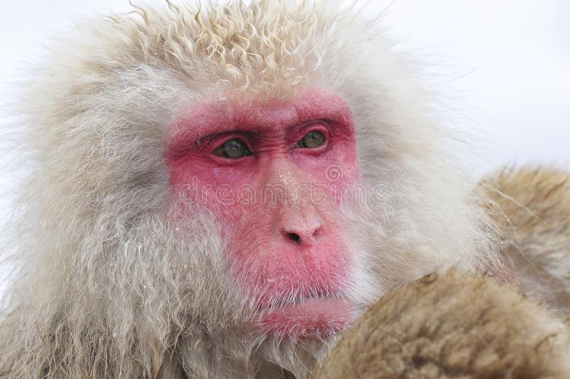 Japanse Makaak, Japoński makak, Macaca fuscata zdjęcie stock