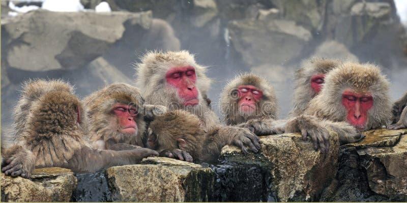 Japanse Makaak, macaco giapponese, fuscata del Macaca fotografie stock