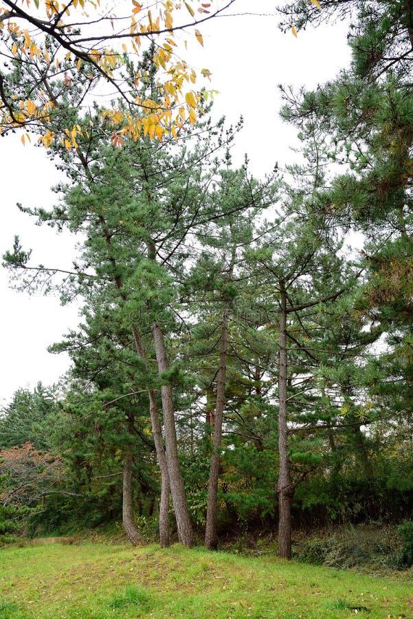 Japanse pijnbomen stock foto