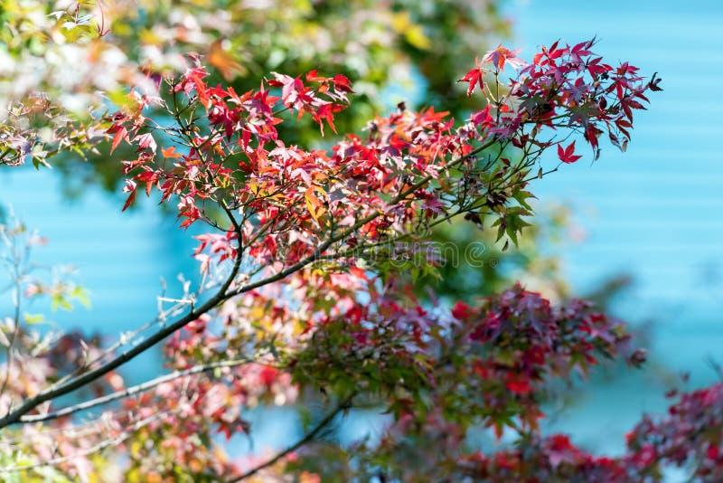 Japanse rode esdoornbladeren tegen de hemel, gebruik voor achtergrond in de herfstconcepten van Japan Close-up royalty-vrije stock afbeeldingen