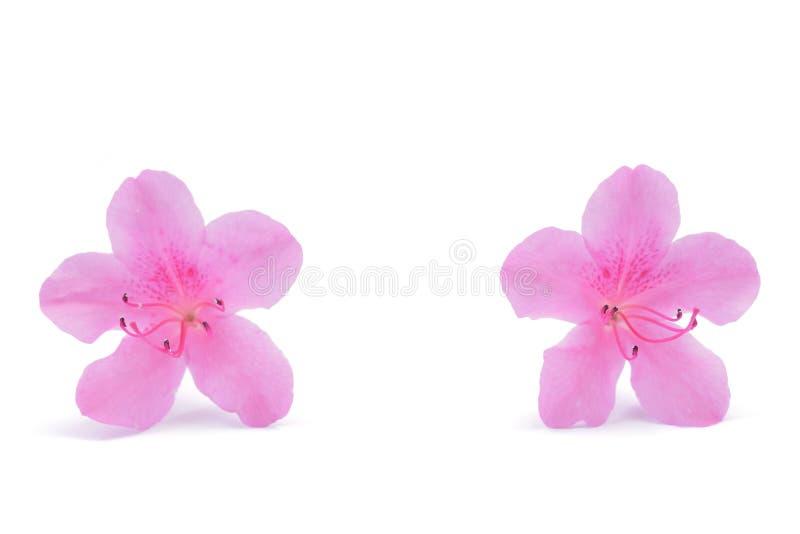Japanse roze die azaleabloem op witte achtergrond wordt geïsoleerd stock afbeelding
