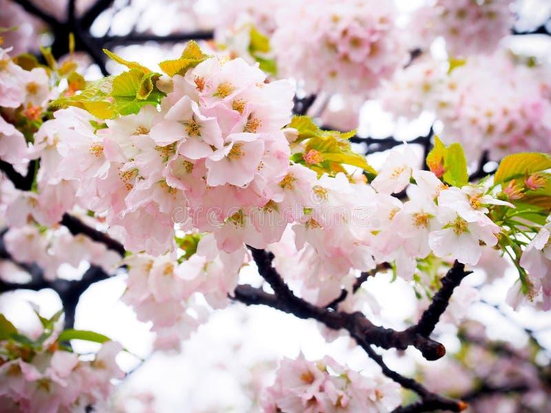 Japanse sakurabloem of kersenbloesem royalty-vrije stock fotografie