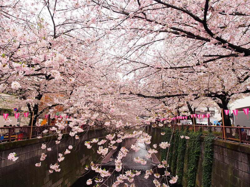 Japanse sakurabloem of kersenbloesem royalty-vrije stock afbeelding