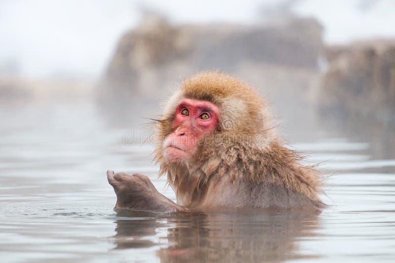 Japanse Sneeuwaap Macaque in het hete Park van de lenteonsen Jigokudan, stock afbeelding