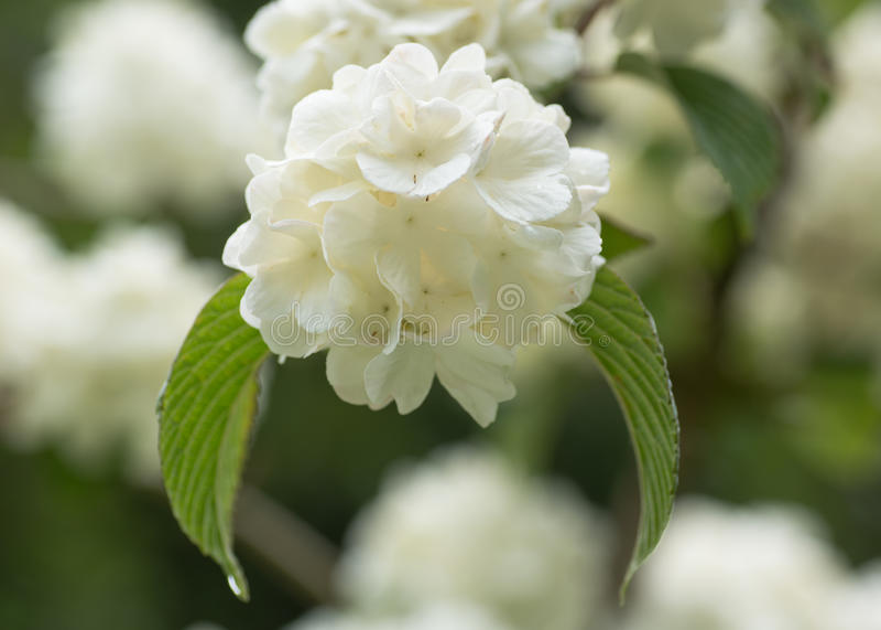 Japanse sneeuwbalstruik, Viburnum-plicatum F Steriele tomentosum ' stock foto