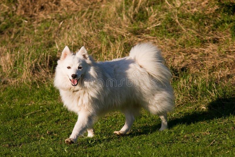 Japanse Spitz hond royalty-vrije stock afbeelding