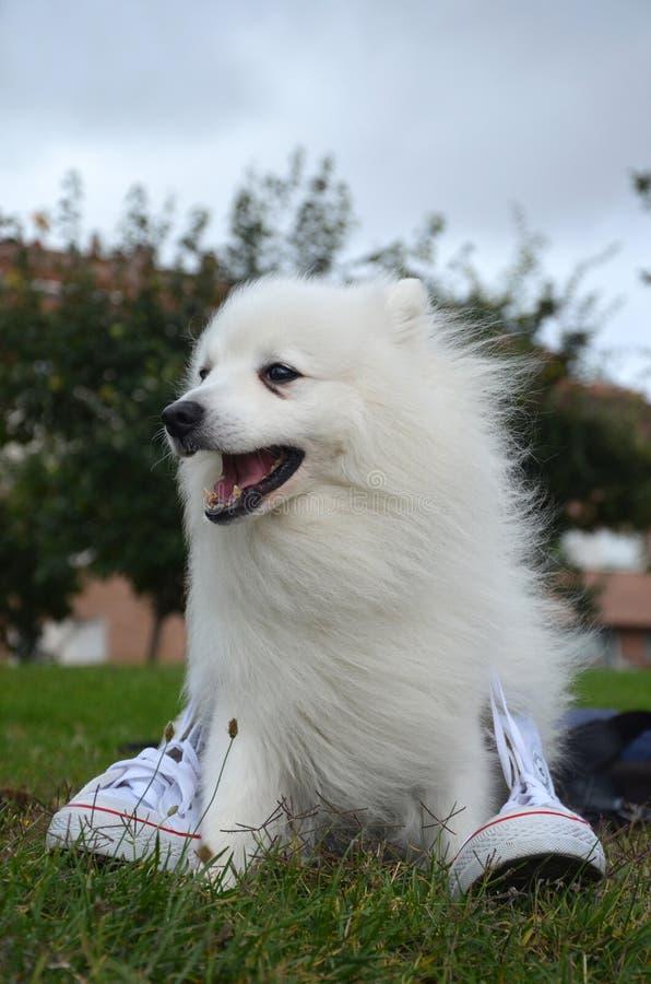Japanse Spitz hond en witte tennisschoenen royalty-vrije stock foto's