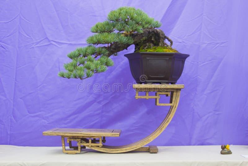 Japanse White Pine-Bonsai in opleiding in Noord-Ierland en op vertoning bij het de lentefestival van Belfast bij Barnetts-Demesne royalty-vrije stock fotografie