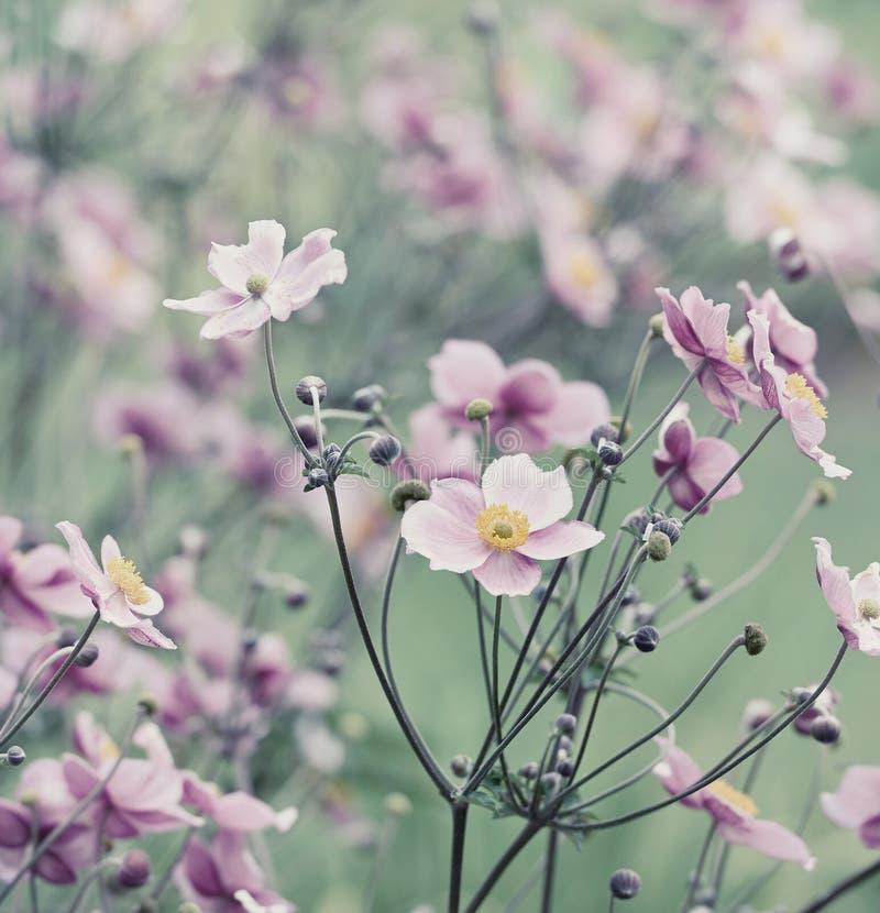Japansk anemon (windflower) royaltyfri fotografi