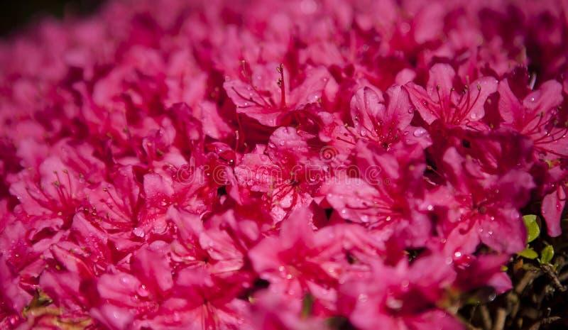 Japansk blommablomning för varma rosa färger i trädgård arkivbild