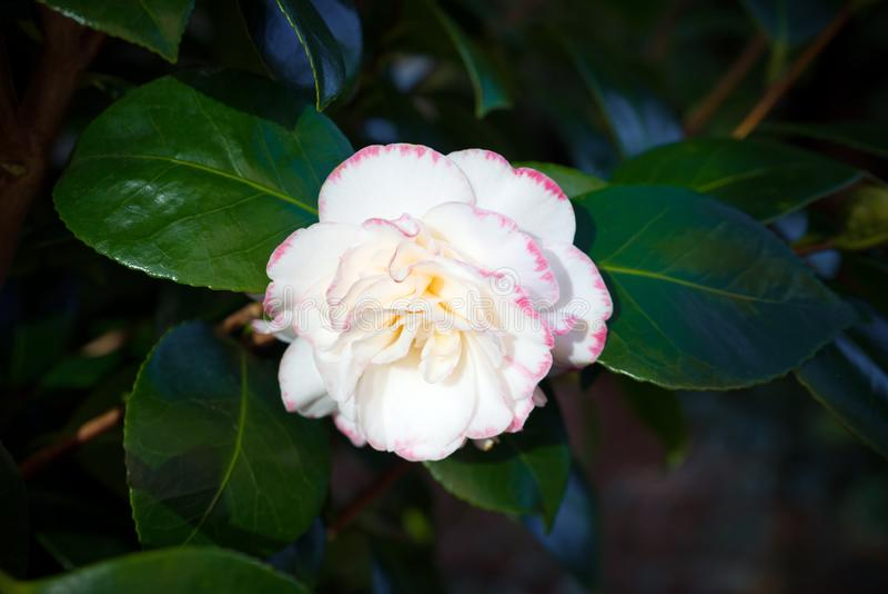 Japansk camellia Camellia Japonica rosa white f?r blomma royaltyfria bilder