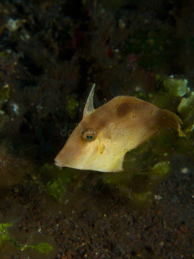 Japansk filefish 01 royaltyfri fotografi