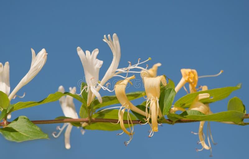Japansk kaprifol, Lonicerajaponica royaltyfria foton