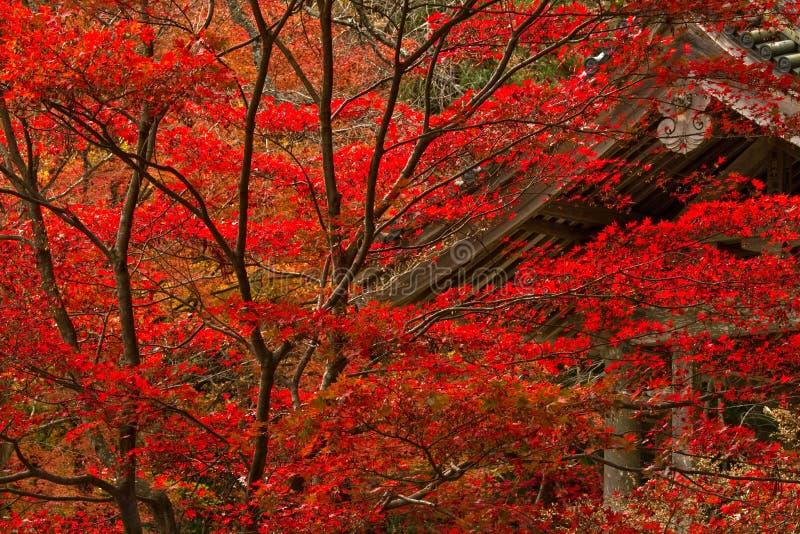 japansk lönnred arkivfoto