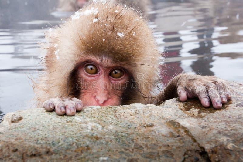 japansk macaque royaltyfri fotografi