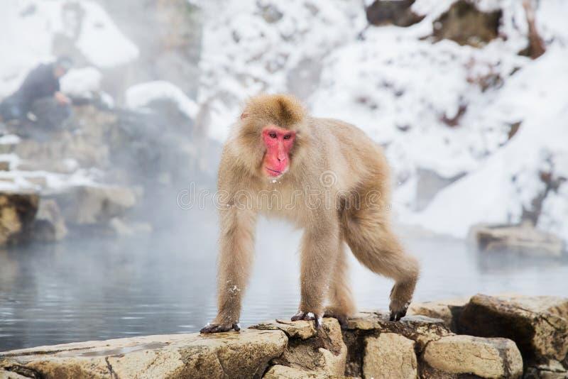 Japansk macaque eller snöapa i varm vår arkivfoto