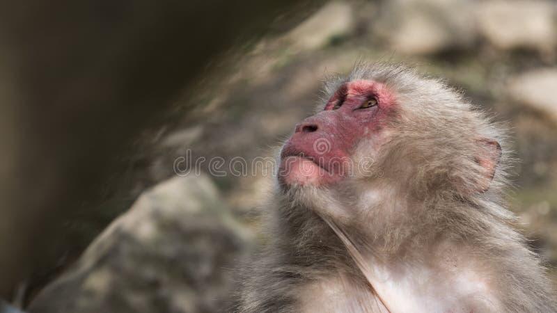 Japansk Macaquestående fotografering för bildbyråer