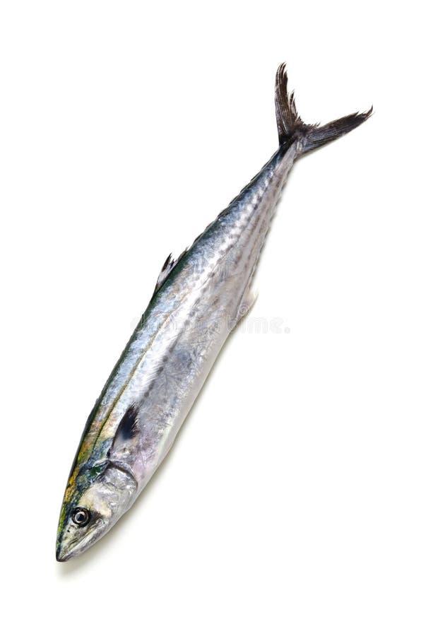japansk mackerelspanjor arkivbilder