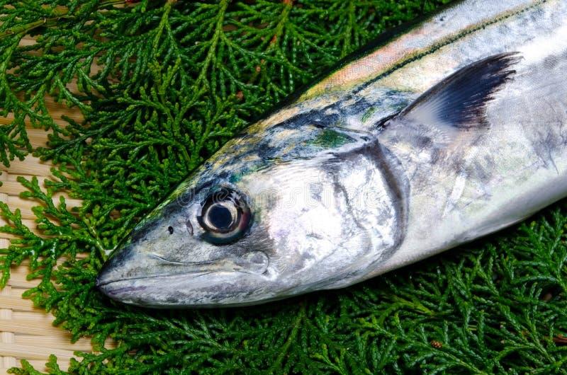 japansk mackerelspanjor arkivfoto