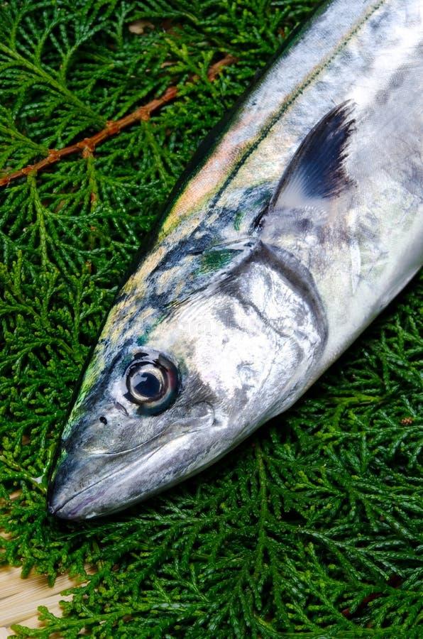 japansk mackerelspanjor fotografering för bildbyråer