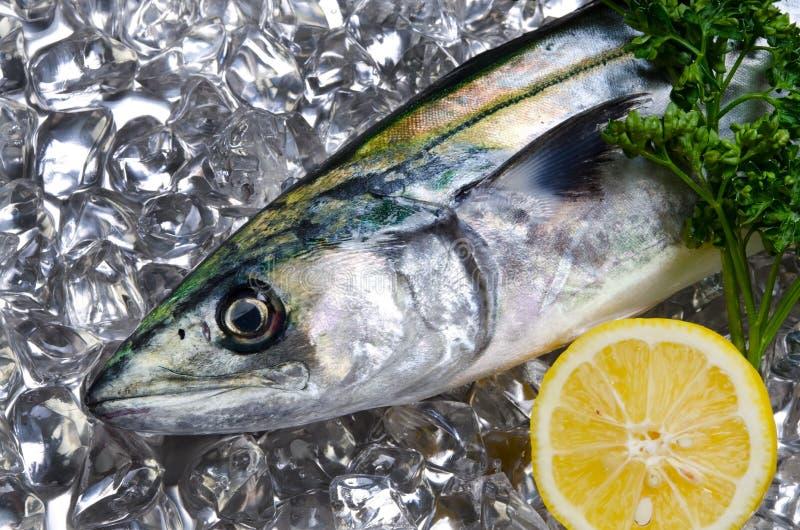 japansk mackerelspanjor royaltyfria foton