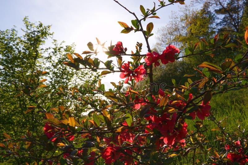 japansk quince arkivfoto