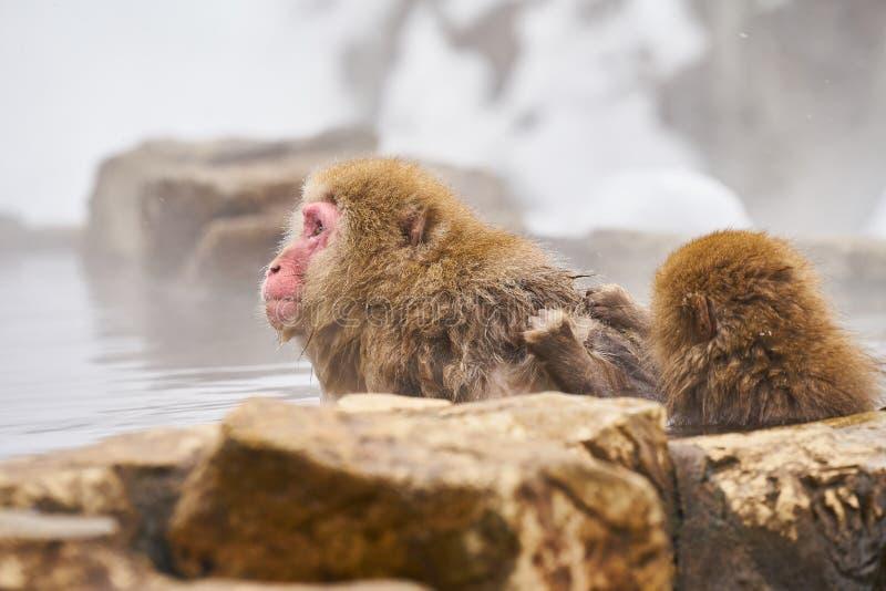 Japansk snö härmar att ansa i den japanska macaquen för den varma pölen, den Jigokudani apan parkerar, Nagano, snöapa royaltyfria foton
